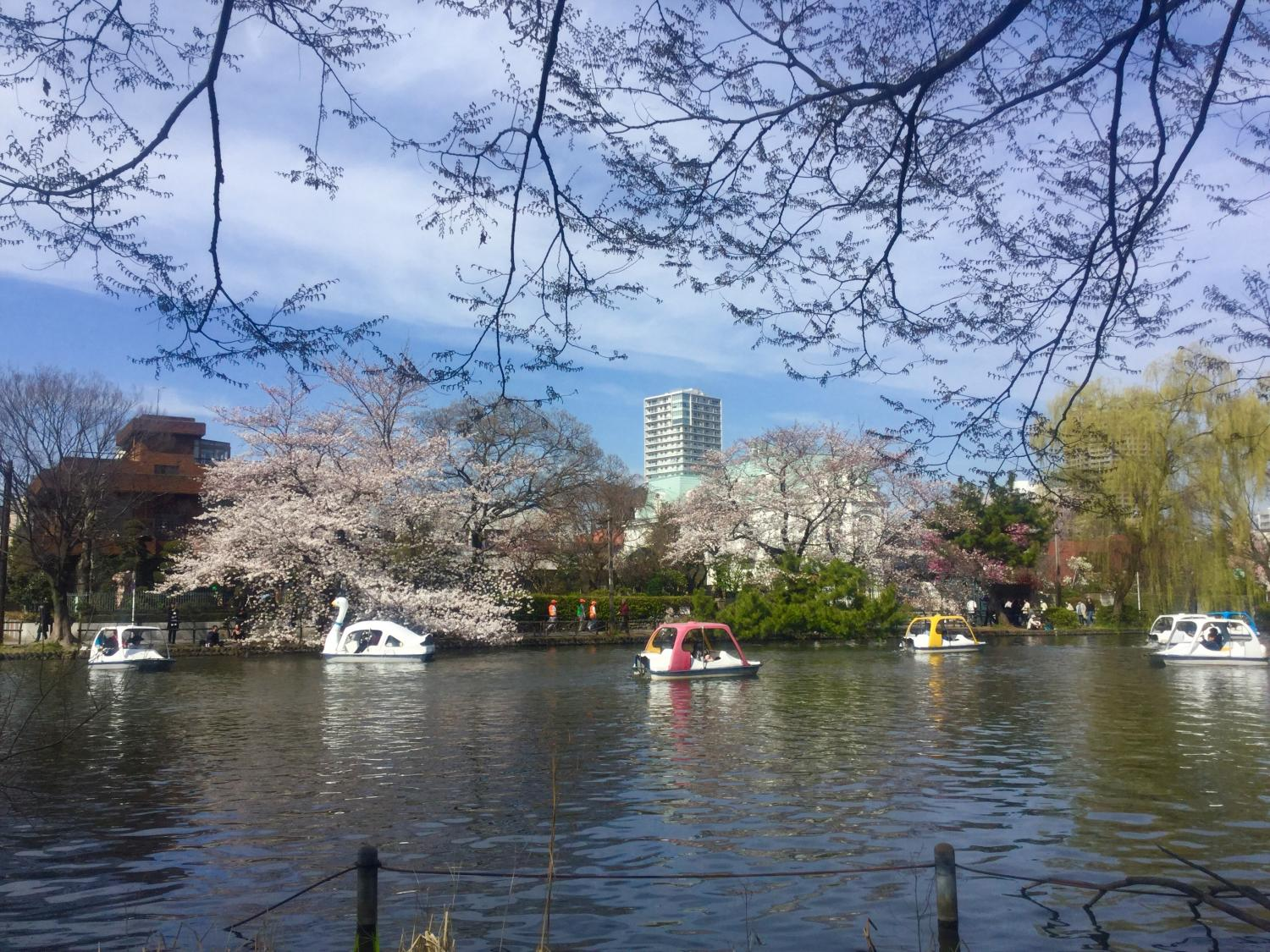Cherry blossoms and willow and boat