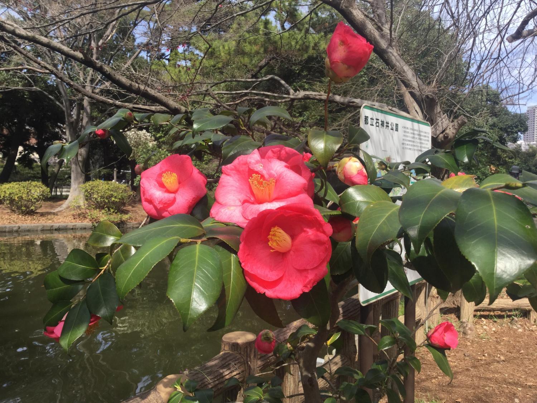 Beautiful large camellia image