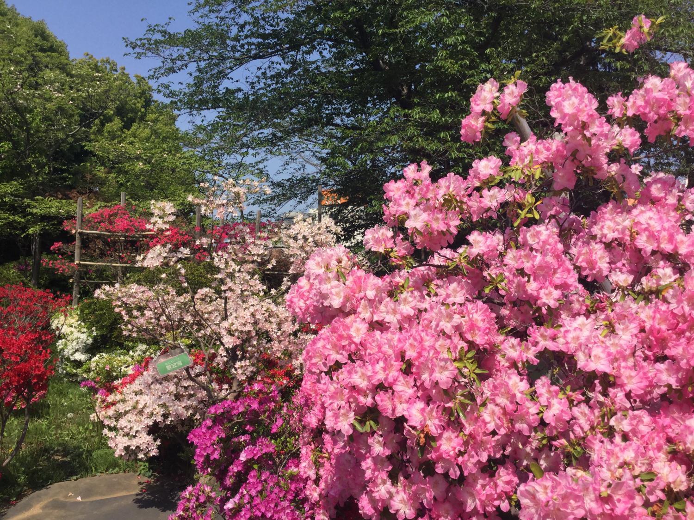 Azalea full bloom! Image