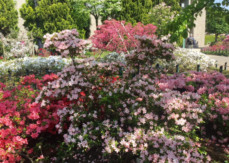 盛开的杜鹃花的花