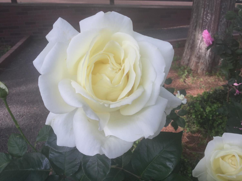 美麗的玫瑰花圖片