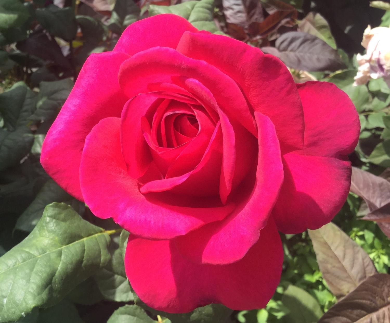 Festival of rose!