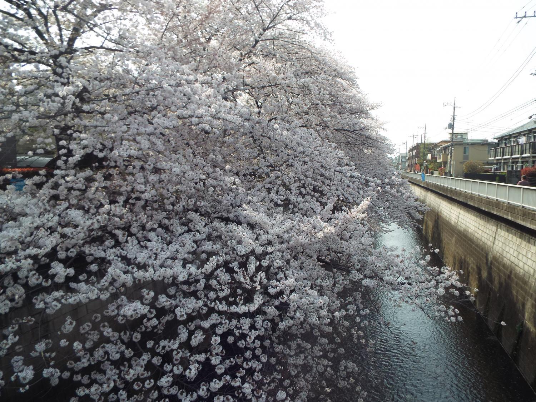 樱花的堆积图片