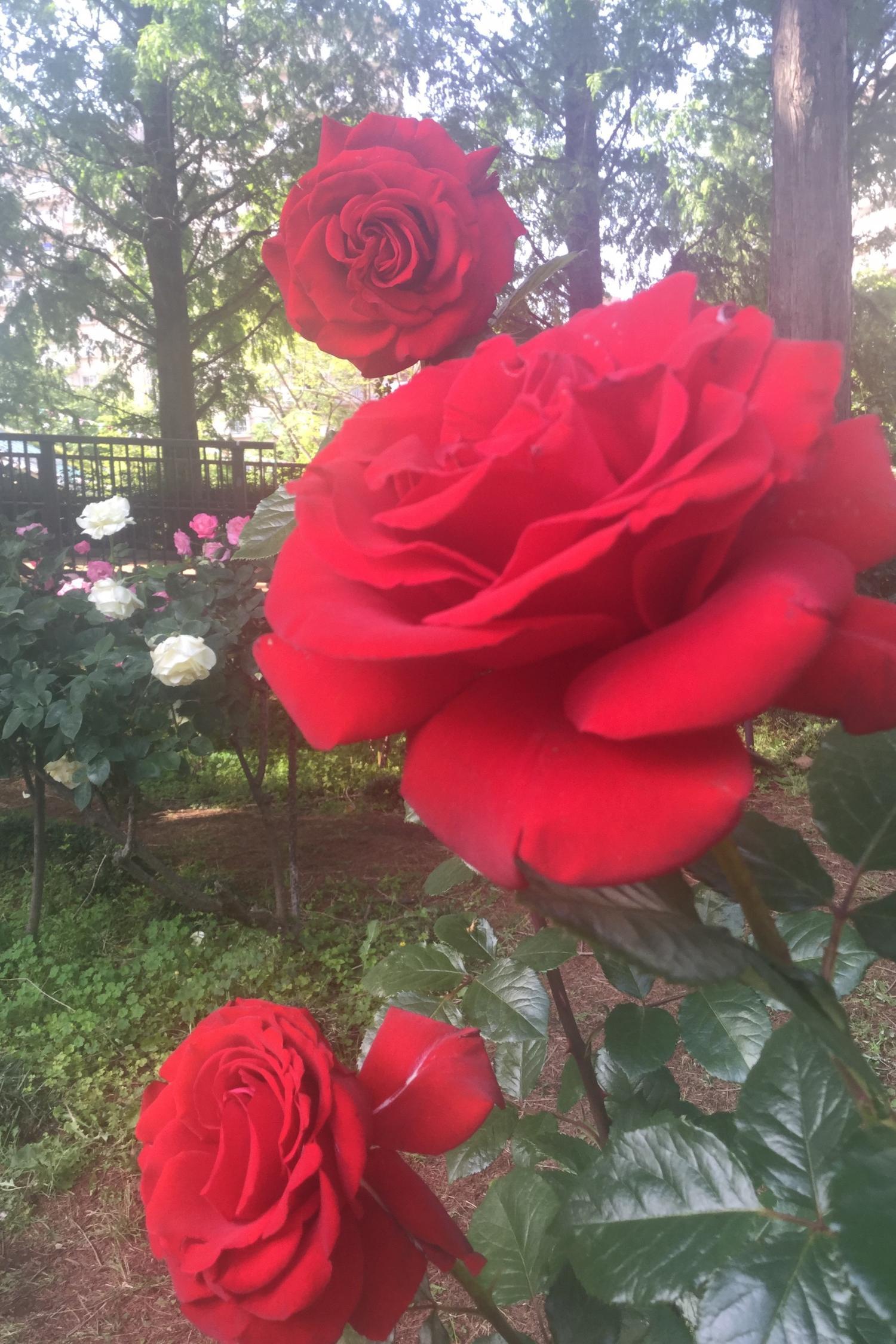 아름다운 장미