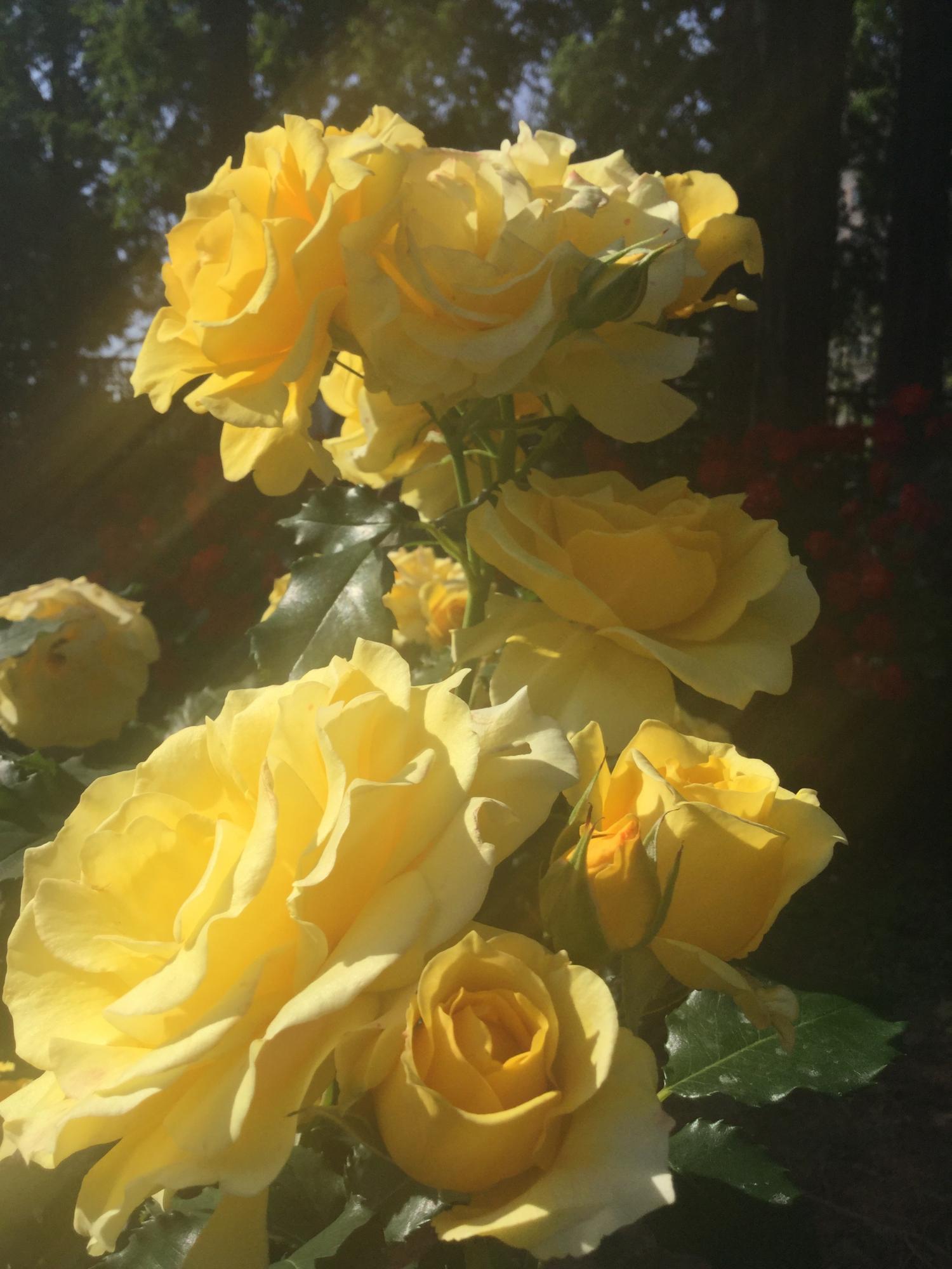 나무 그늘의 장미 이미지