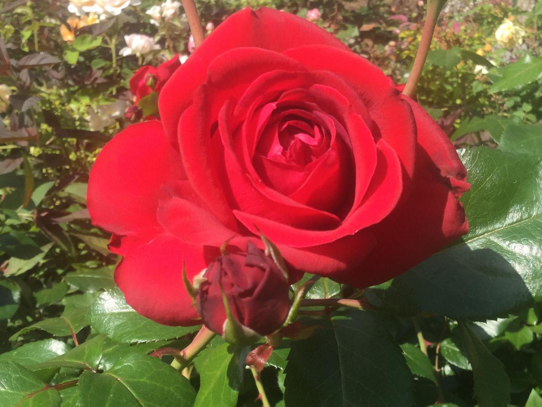 매혹의 장미 사계의 향기 로즈 가든을 물들이는 장미 이미지