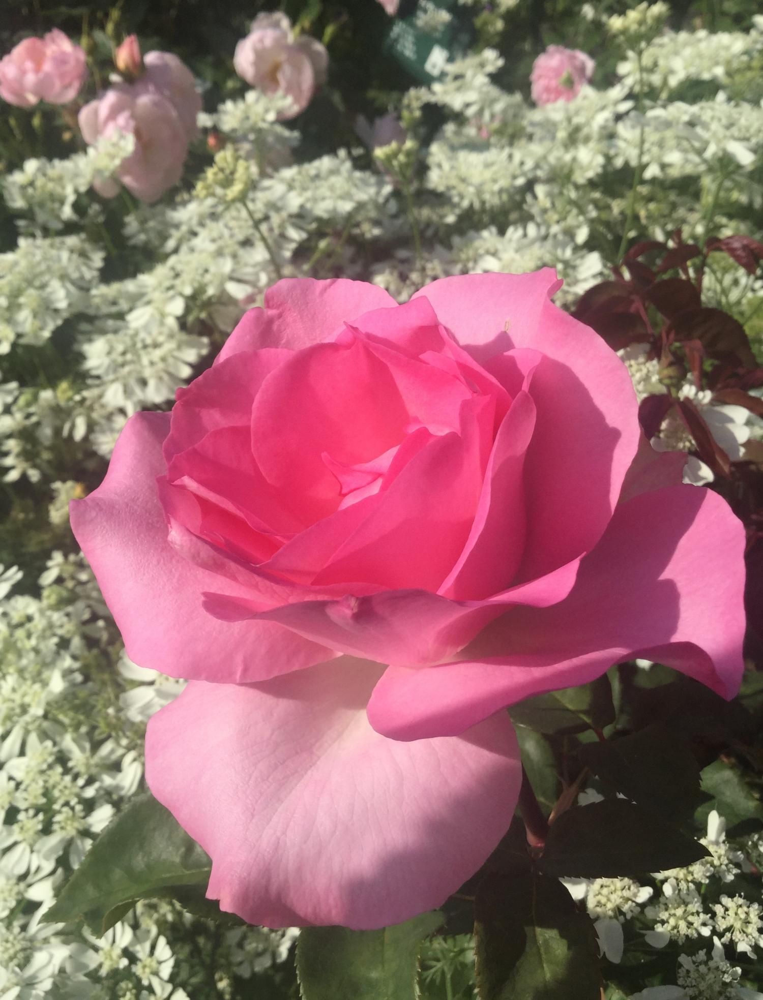 Rose which colors incense Rose garden of the rose four seasons of fascination