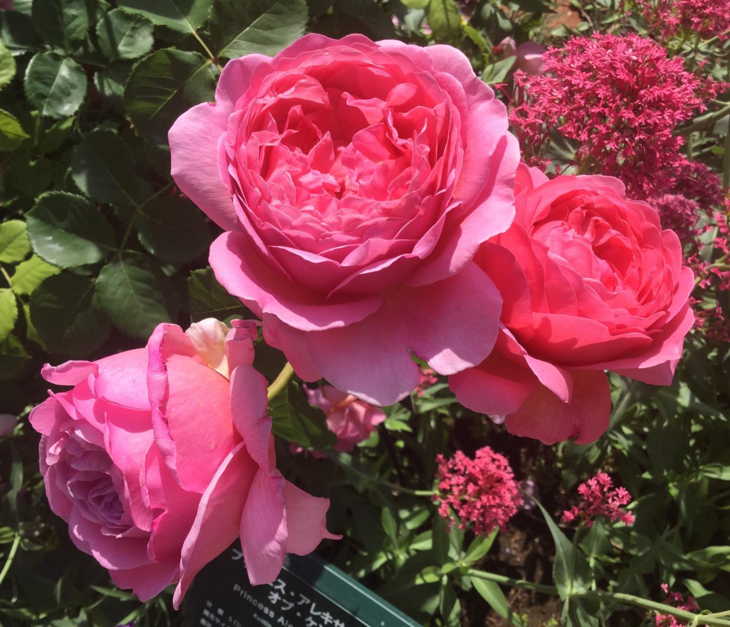 매혹의 장미 사계의 향기 로즈 가든을 물들이는 장미
