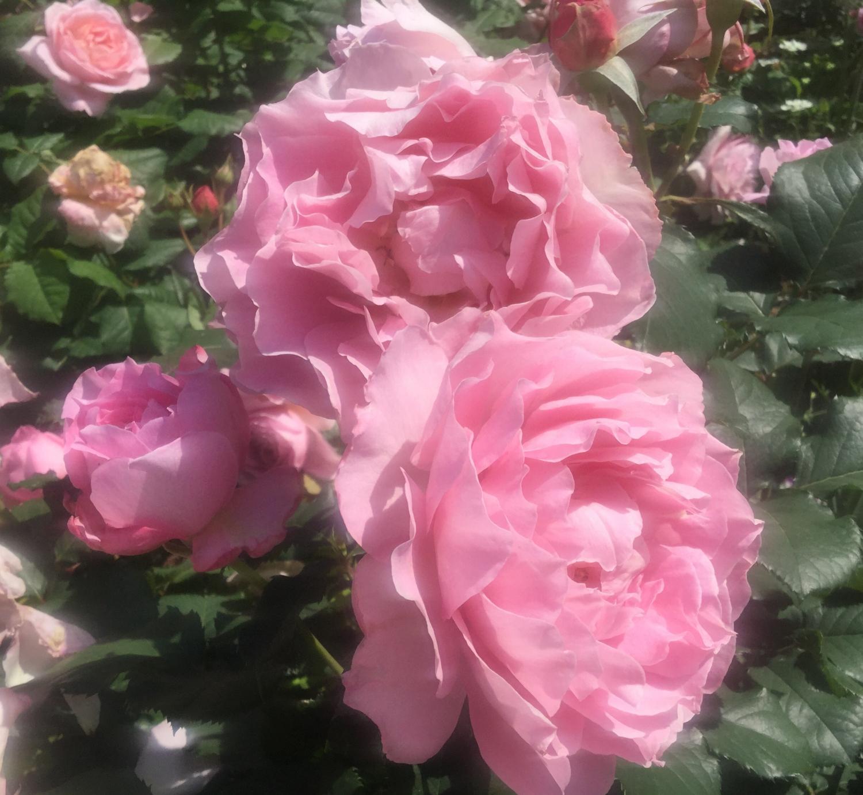 매혹의 장미 사계의 향기 로즈 가든을 물들이는 장미 화상
