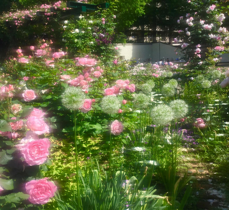 給誘惑的玫瑰花四季的香玫瑰園上色的玫瑰花圖片