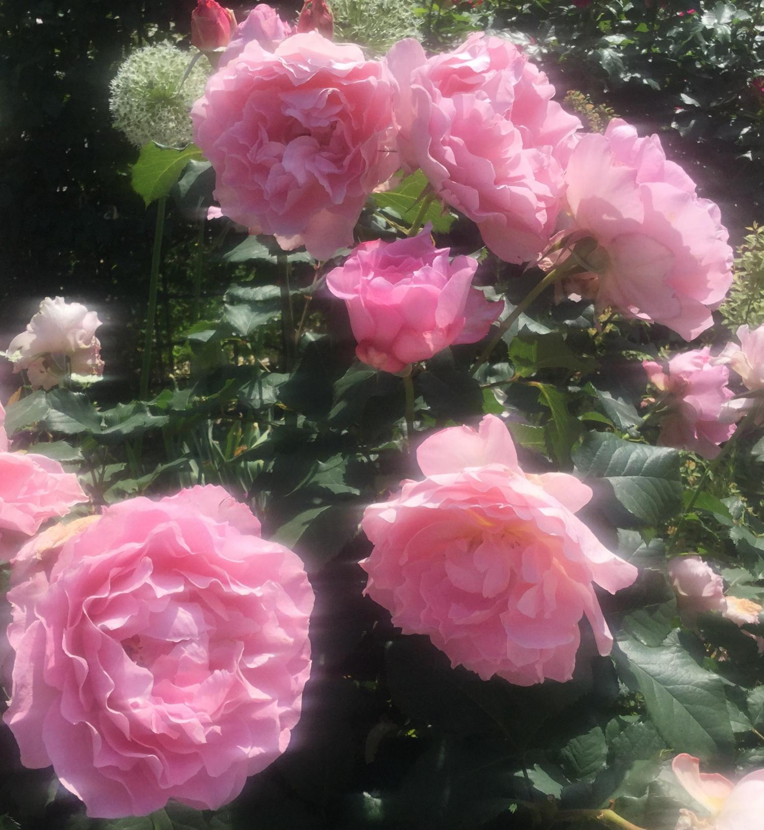 Rose image which colors incense Rose garden of the rose four seasons of fascination