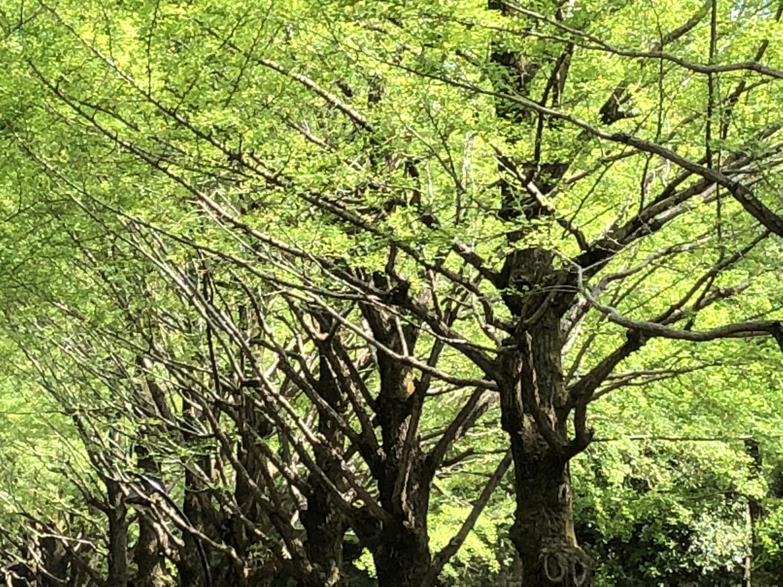 嫩葉的銀杏街道樹圖片