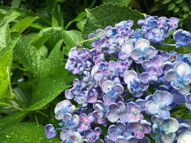 紫阳花和螳螂图片