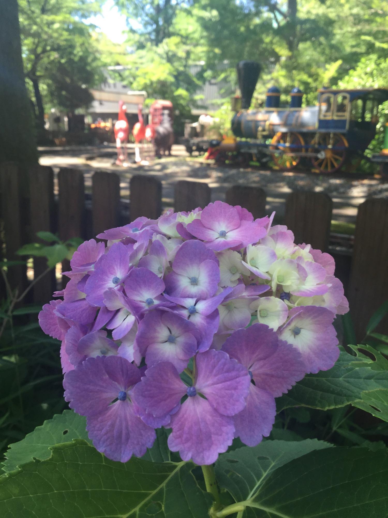 紫阳花表演!和不能收拾起来的紫阳花节ri图片