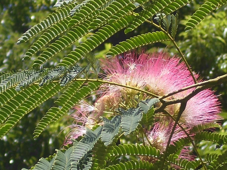 洗太陽的光速號,合歡樹的花