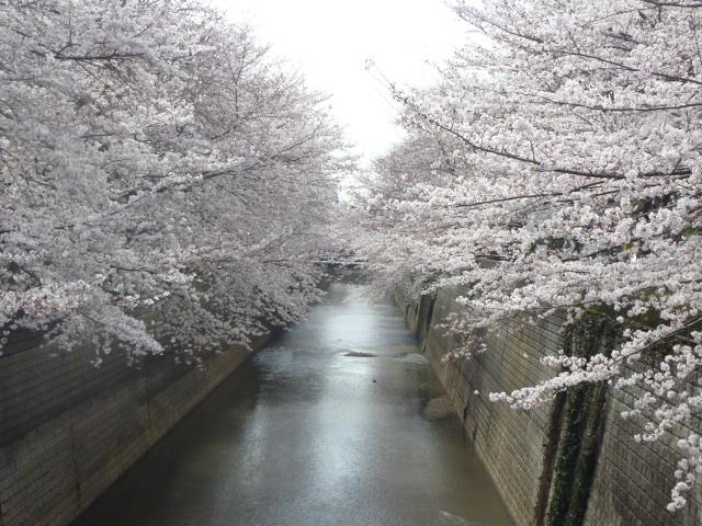 Look at cherry blossoms; cherry blossoms of bridge