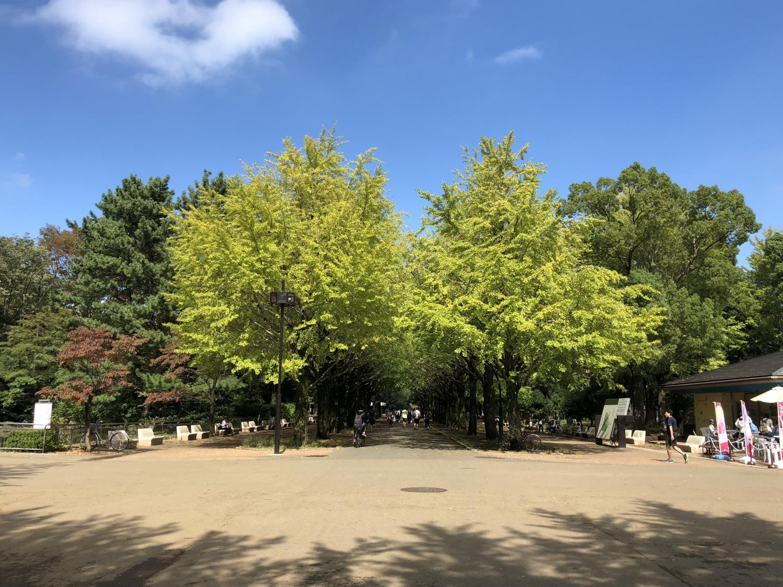 成排的有顏色的銀杏樹