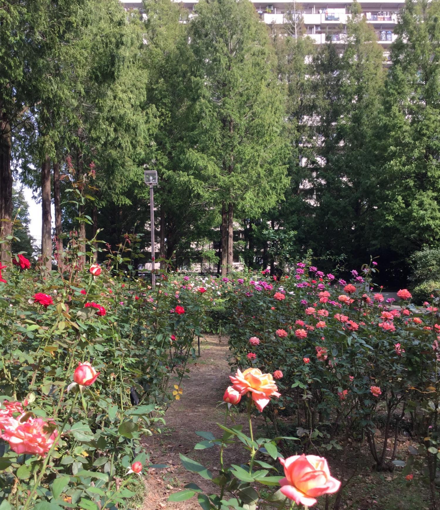 가을의 향기의 장미가 만개! 화상
