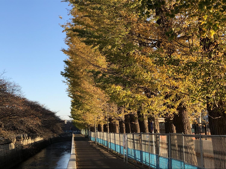 映照朝日的銀杏街道樹圖片