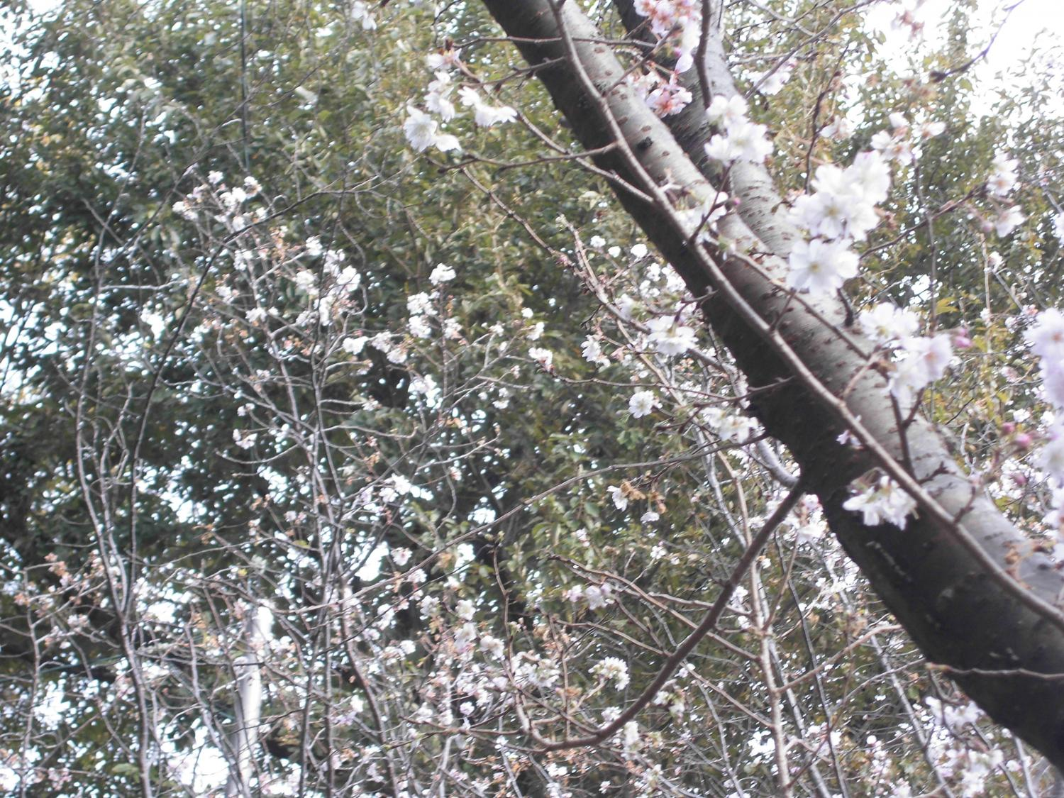 Cherry tree blooms this year in winter