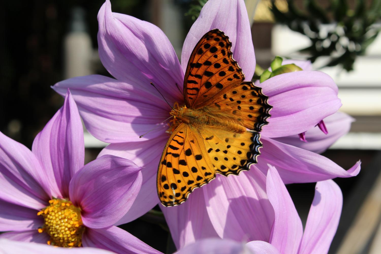 삼보사:황제 달리아와 나비 이미지