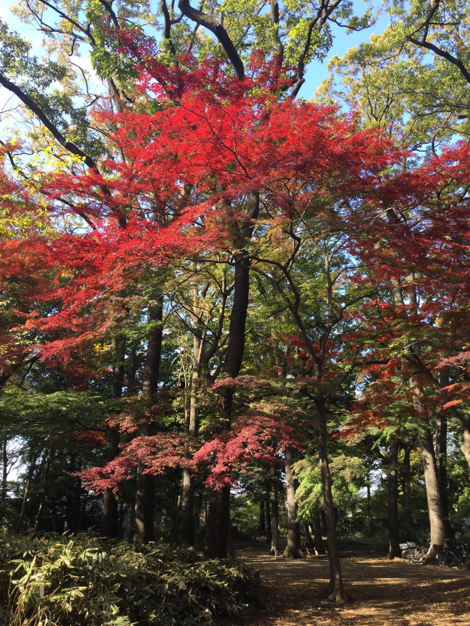 楓葉很很好看! 圖片