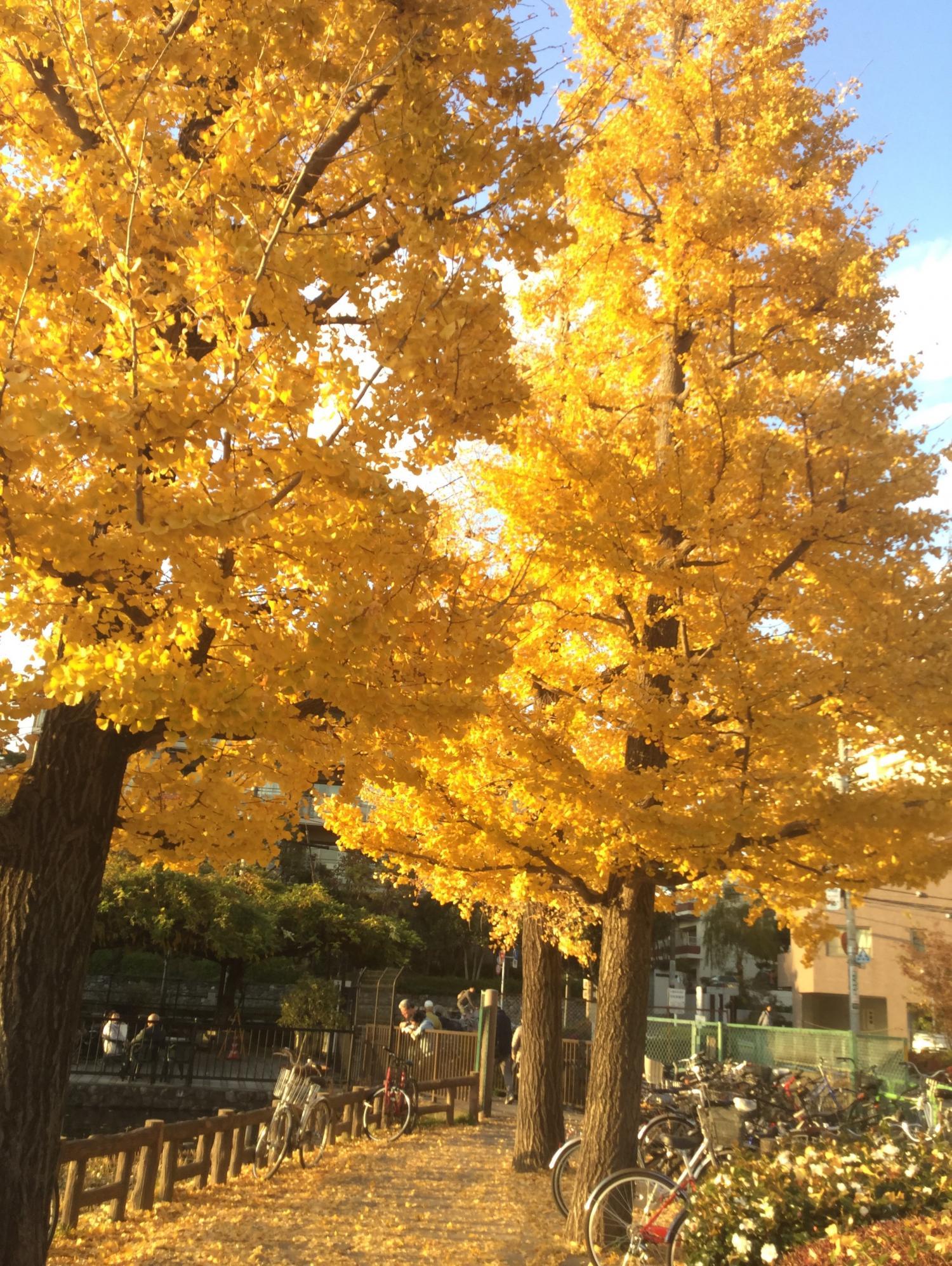 은행의 황엽이 아름답다! 이미지