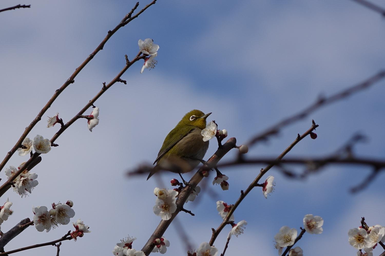 Plum is forest of flowering Kitamachi, Nerima-ku umenoki rest