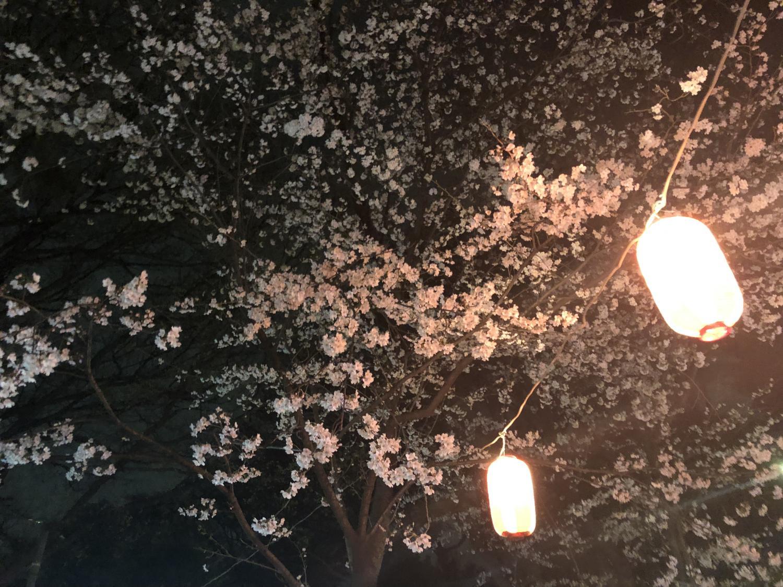 夜間櫻花圖片