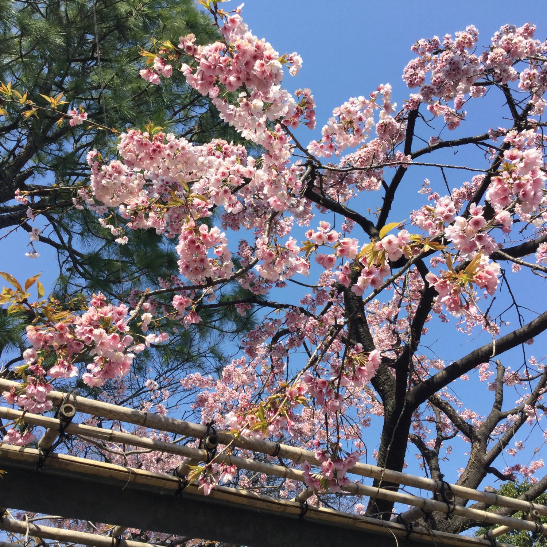 今年的okanzakura很好看的圖片