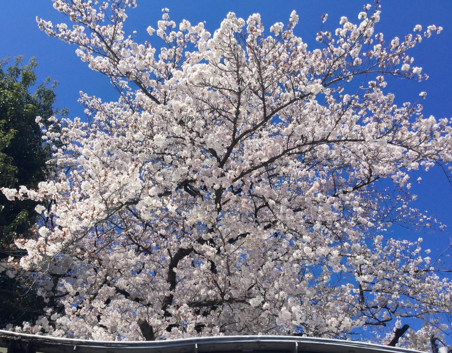 Is in full blossom; image