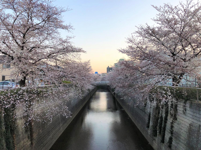 沿石神井川的櫻花圖片