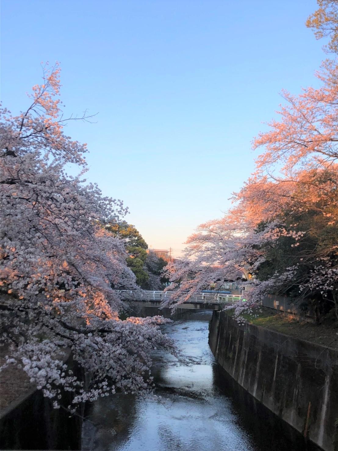 도시마엔의 벚꽃