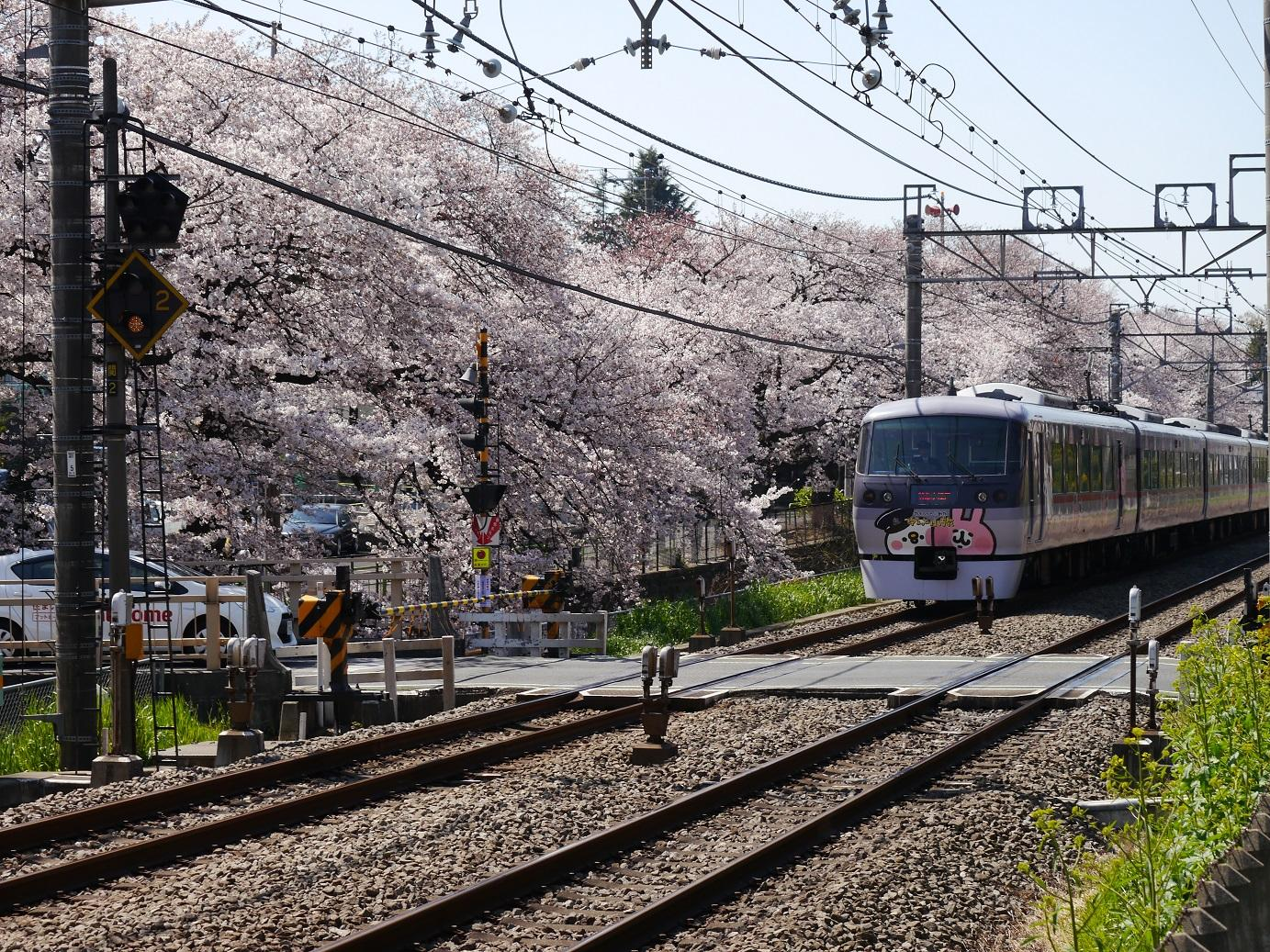 Cherry blossoms and image of Seibu line drawing