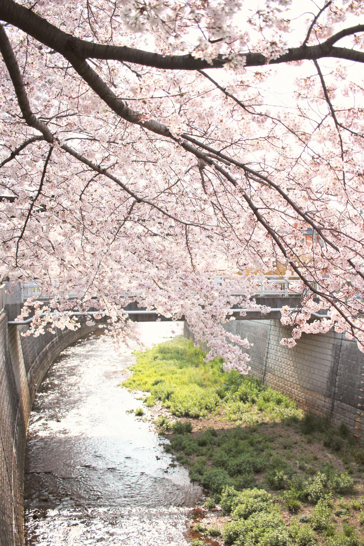 샤쿠지이가와의 벚꽃 이미지