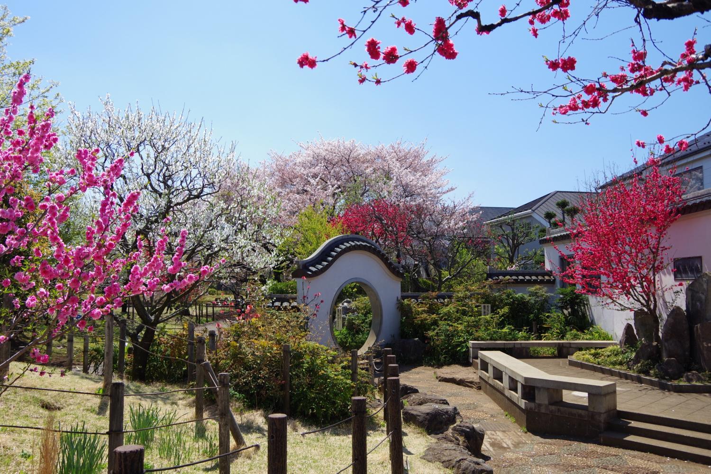 桃子花資源的碧桃樹作為正好看的時候的圖片