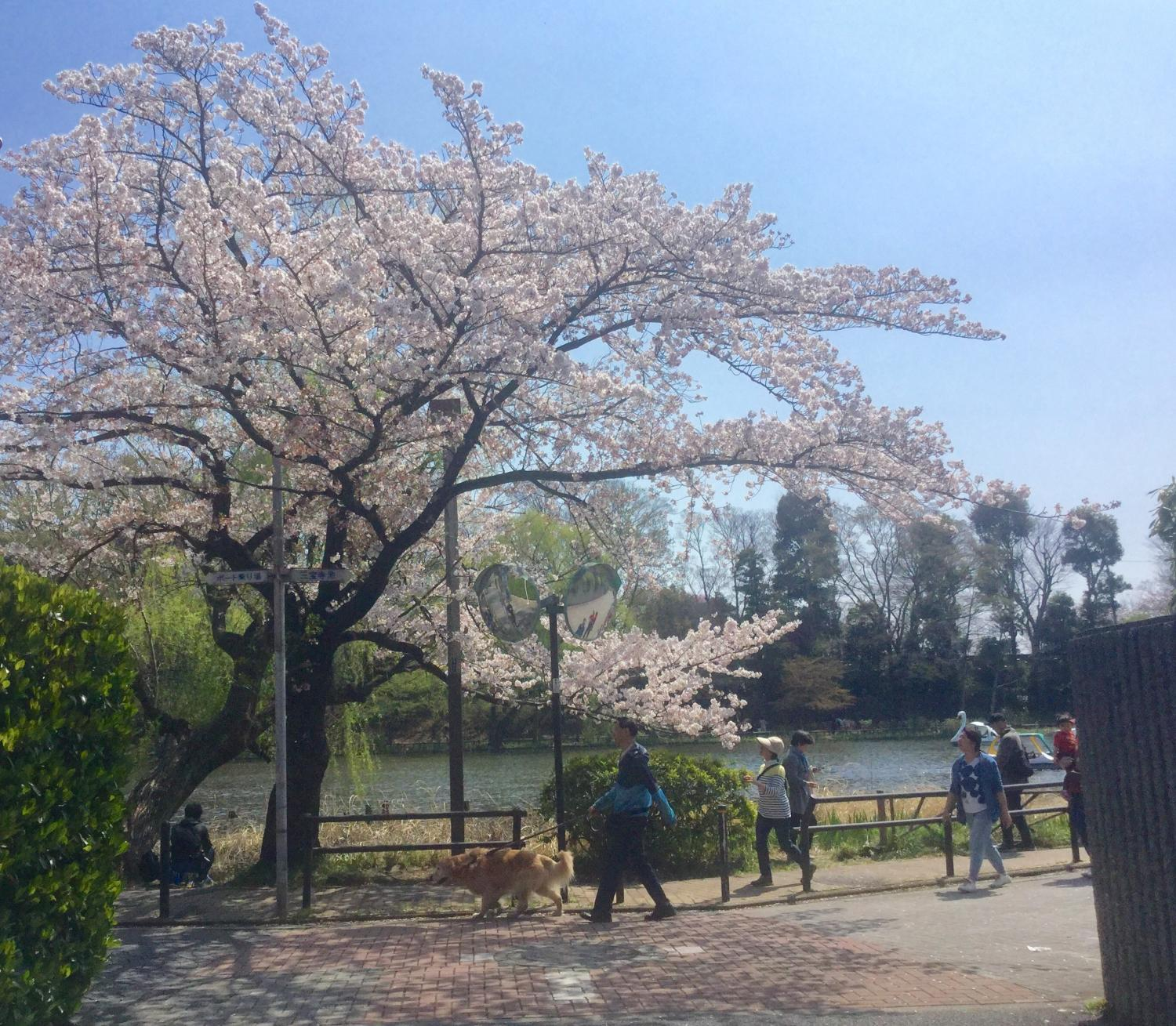 People ② image to enjoy cherry blossom viewing