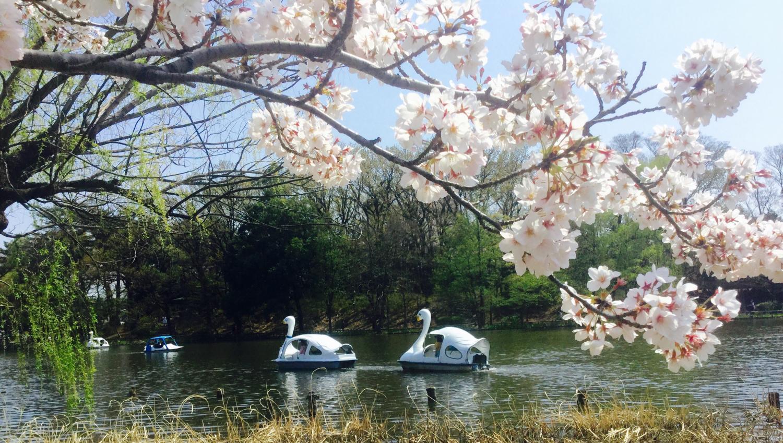 만개의 벚꽃과 튤립 이미지