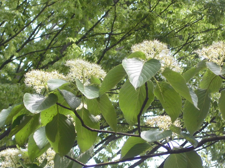 石神井公園:山茱萸的花、燕子花圖片