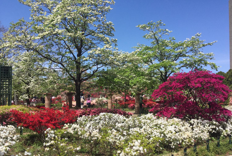 흰 미국산딸나무와 진달래의 경연 이미지