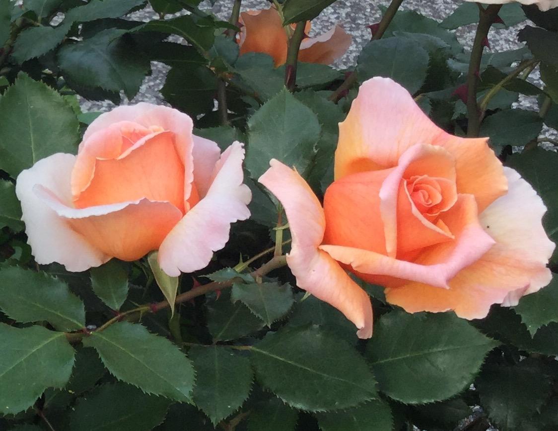 장미에 사랑해 줘! 이미지
