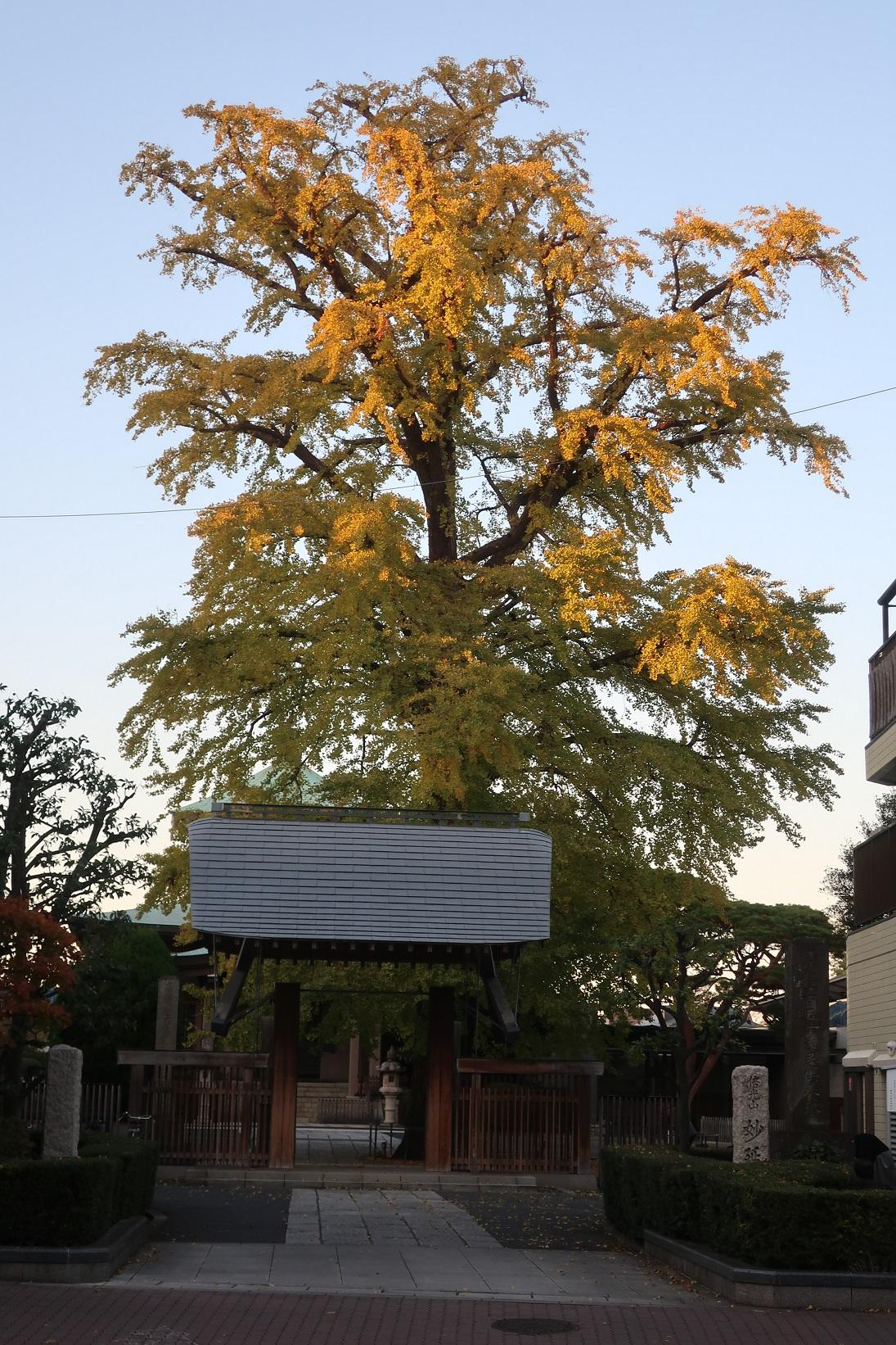 Big ginkgo tree image of the wonder deferred temple