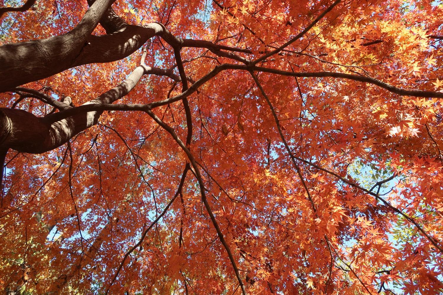 Colored leaves image of Shakujii Park