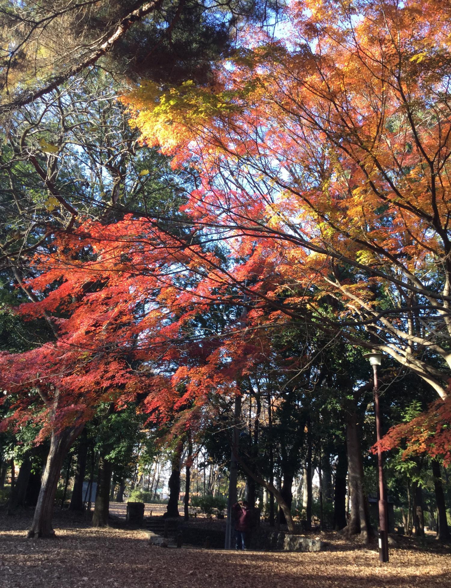 石神井公园纪念庭园的枫叶图片