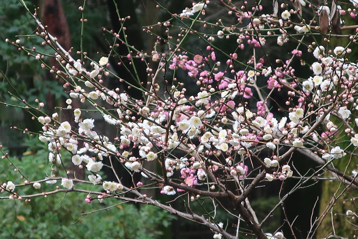 Flower of plum of Musashiseki Park