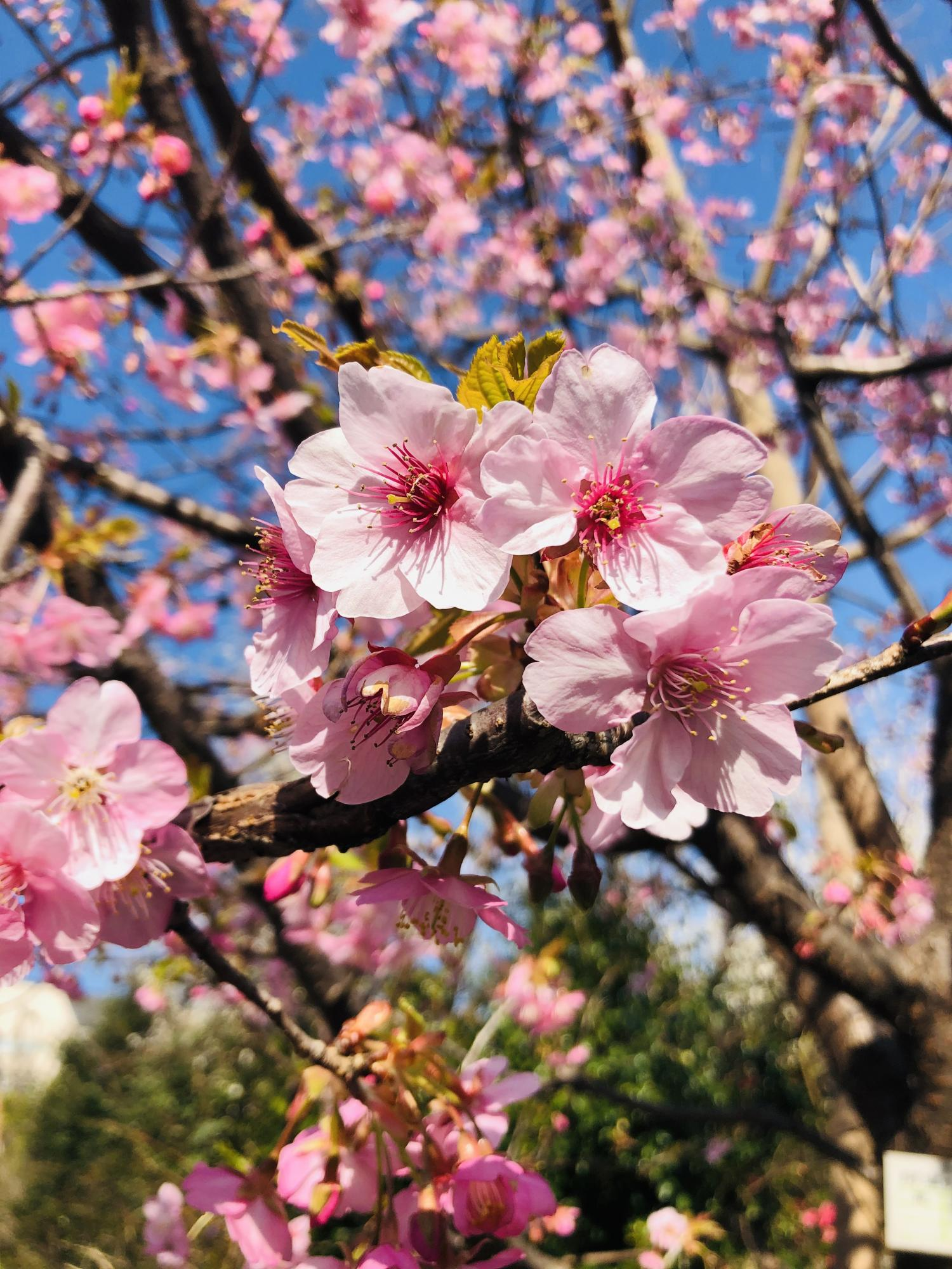 매화나무 숲 공원의 가와즈 벚꽃 이미지