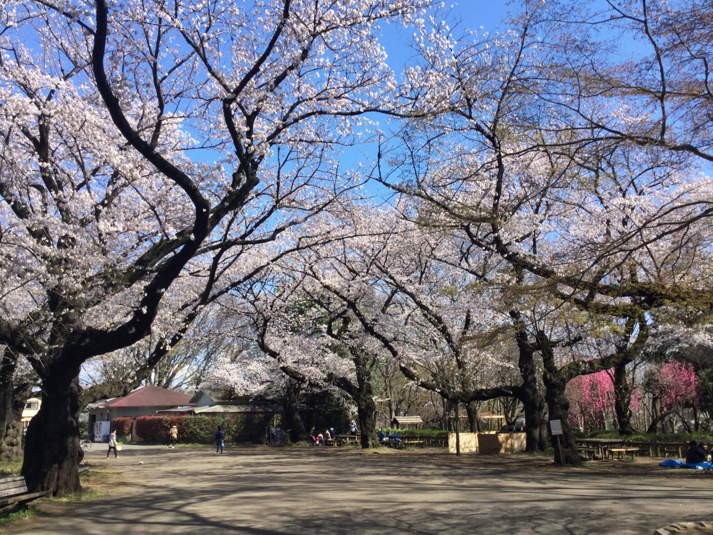 벚꽃 만개! 이미지