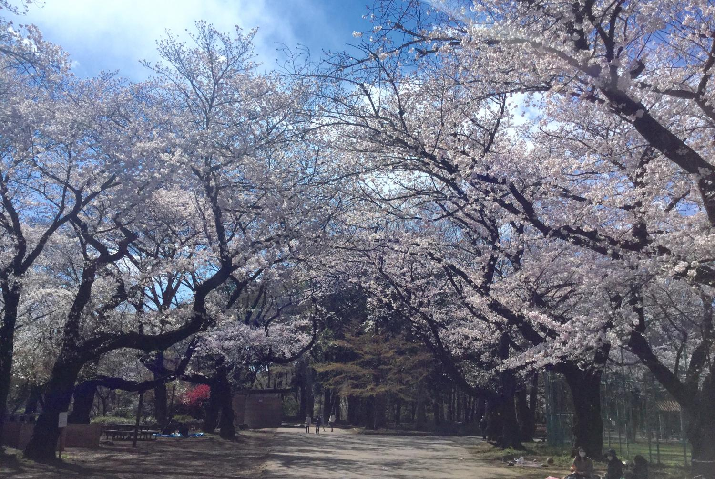 Cherry tree full bloom! Image