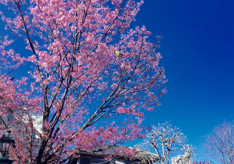 매년, 찍고 싶어집니다.벚꽃과 양옥 이미지