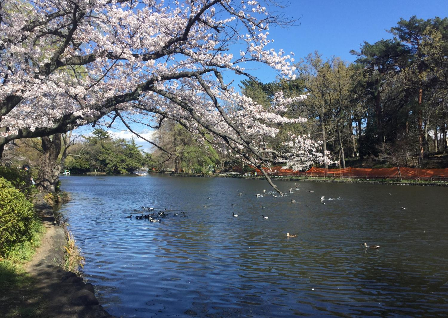 흰뺨검둥오리 노는 보트 연못 이미지